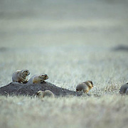 Prairie Dog, (Cynomys ludovicians) Family of dogs sitting on mound, fluffy coats readying them for brittle winter