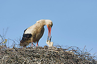 White stork (Ciconia ciconia) adult feeding chicks at nest. Rusne, Lithuania. Mission: Lithuania, June 2009