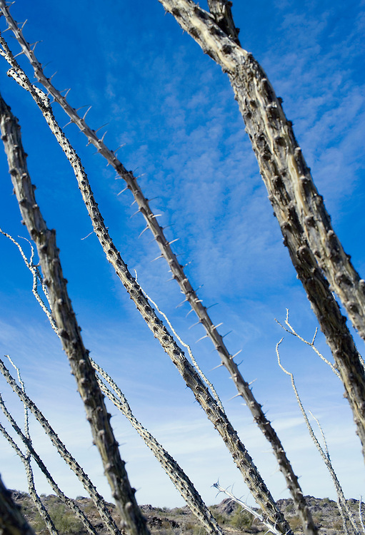 Ocotillo plant Sanoran Desert Arizona USA&#xA;<br />