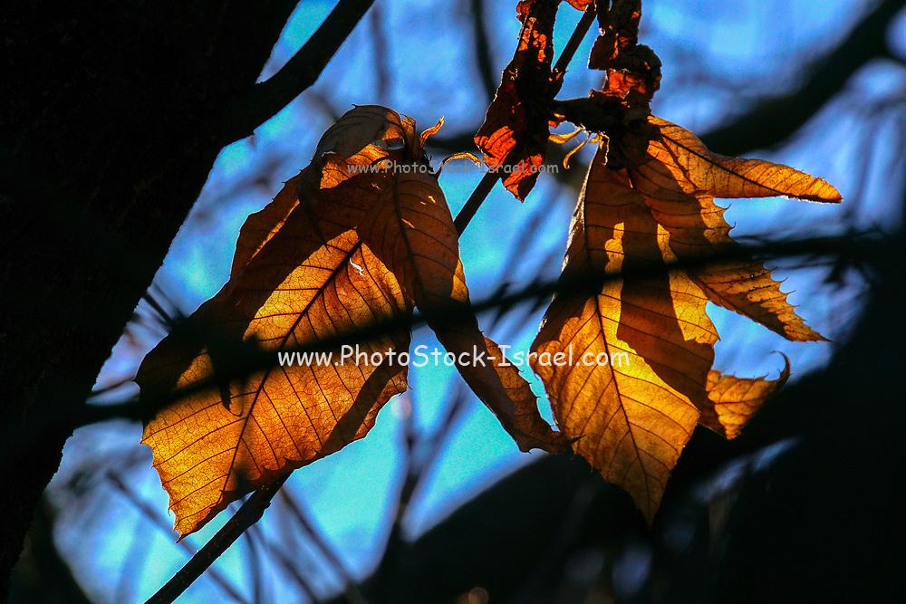 Orange and brown autumn coloured leafs