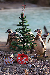 © Licensed to London News Pictures. 12/12/2012. London, UK. Penguins of London Zoo's resident colony tuck in to fishy Christmas treats after zoo keepers delivered festive presents and stockings to the animals today (12/12/12) . Photo credit: Matt Cetti-Roberts/LNP