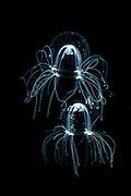 Comb Jellies, North Sea, Germany / (Bougainvillia britannica) [size of single organism: 4mm]  Medusen, Nordsee, Deutschland