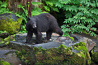 Black bear on granite outcrop with ferns in the background.