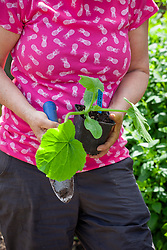Holding a pot grown courgette plant ready to plant outside - Cucurbita pepo 'Black Forest'