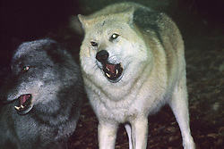 Germany, Merzig (Saarland) - undated .Wolves in a wood.Wolf / Wolves  (Credit Image: © Antonio Pisacreta/Ropi via ZUMA Press)