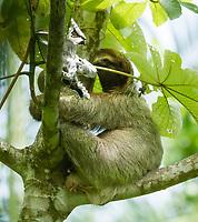 Three-toed Sloth (Brown-throated Sloth), Bradypus variegatus, in a tree in Manuel Antonio National Park, Costa Rica