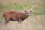 Hog Deer - Cervus porcinus