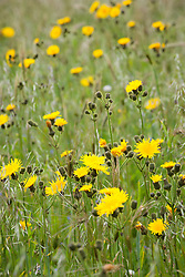 Corn Sow Thistle in barley field. Sonchus arvensis