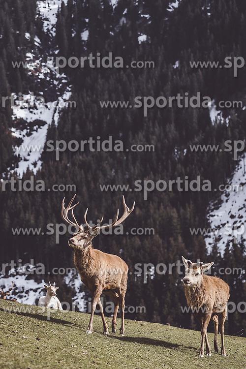 THEMENBILD - ein Rothirsch mit Hirschkuh auf einer Wiese in einem Wildtiergehege, aufgenommen am 07. März 2019 in Aurach, Oesterreich // a red deer with a red deer hind on a meadow in a wild animal enclosure in Aurach, Austria on 2019/03/07. EXPA Pictures © 2019, PhotoCredit: EXPA/ JFK