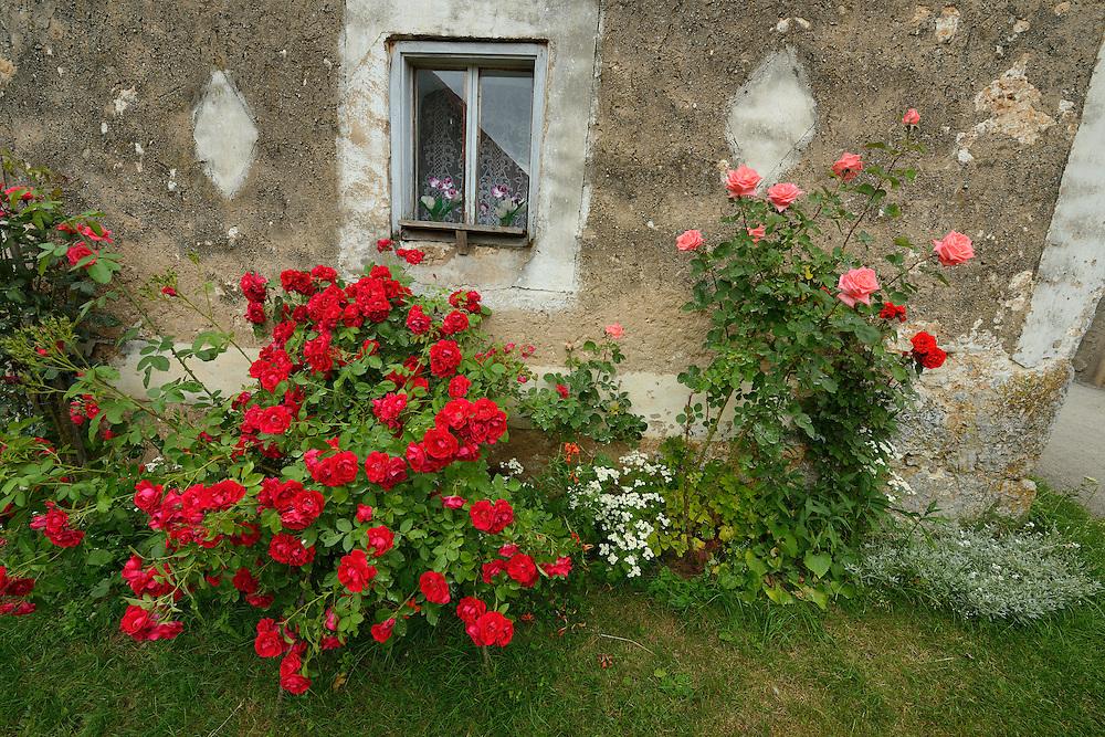 Roses, Rosa sp. North Velebit National Park,  Velebit Nature Park, Rewilding Europe rewilding area, Velebit  mountains, Croatia