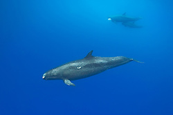 false killer whales, Pseudorca cassidens, adult male with many scars, mother with fish (a jack) in her mouth and calf in background, Kona Coast, Big Island, Hawaii, Pacific Ocean
