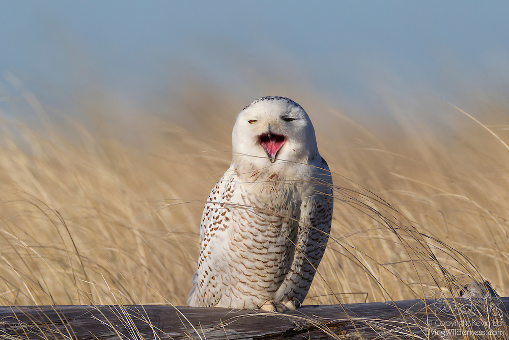 A snowy owl (Nyctea scandiaca) appears to yawn while resting on driftwood at Damon Point in Ocean Shores, Washington. Snowy owls, like other owls, hunt at night and spend most of the day resting to conserve energy. Snowy owls, which spend the summer in the northern circumpolar region north of 60 degrees latitude, have a typical winter range that includes Alaska, Canada and northern Eurasia. Every several years, for reasons still unexplained, the snowy owls migrate much farther south in an event known as an irruption. During one irruption, a snowy owl was found as far south as the Caribbean. During the 2011-2012 irruption, Ocean Shores on the Washington coast was the winter home for an especially large number of snowy owls. Snowy owls tend to prefer coastal and plains areas, which most resemble the open tundra that serves as their typical home.