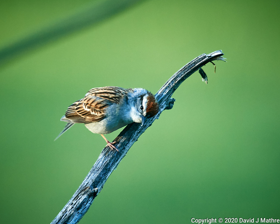 Chipping Sparrow. Image taken with a Nikon D5 camera and 600 mm f/4 VR lens (ISO 1600, 600 mm, f/5.6, 1/640 sec)