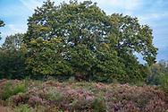 flowering common heather (Calluna vulgaris) and oak tree in the Wahner Heath on Telegraphen hill, Troisdorf, North Rhine-Westphalia, Germany.<br /> <br /> bluehende Besenheide (Calluna vulgaris) und Eiche in der Wahner Heide am Telegraphenberg, Troisdorf, Nordrhein-Westfalen, Deutschland.
