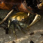 Crab on stuary. Isla Mujeres, Quintana Roo, Mexico.