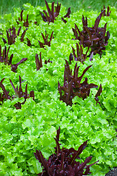 Lettuce 'Green Salad Bowl' and 'Solix'. Lactuca sativa