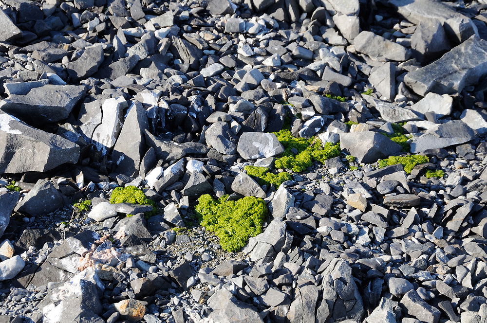 Bright green algae growing near Hope Bay. Hope Bay, Antarctica. 02Mar16