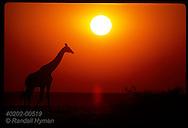Orange sunset silhouettes a giraffe as it walks along the Etosha Pan in Etosha National Park. Namibia