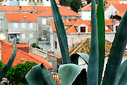 Agave plant, with elevated view of house roofs in background. Dubrovnik, Croatia