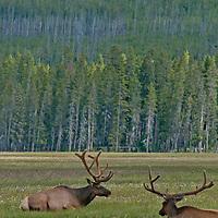 Bull Elk (Cervus canadensis) relax in Elk Park Meadows in Yellowstone National Park.