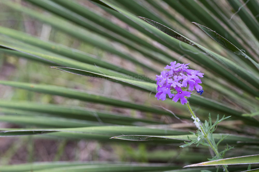 Yucca and verbena wildflowers, Block Creek Natural Area, Hill Country region, Texas, USA. Tentative ID: Possibly prairie verbena (Glandularia bipinnatifida).