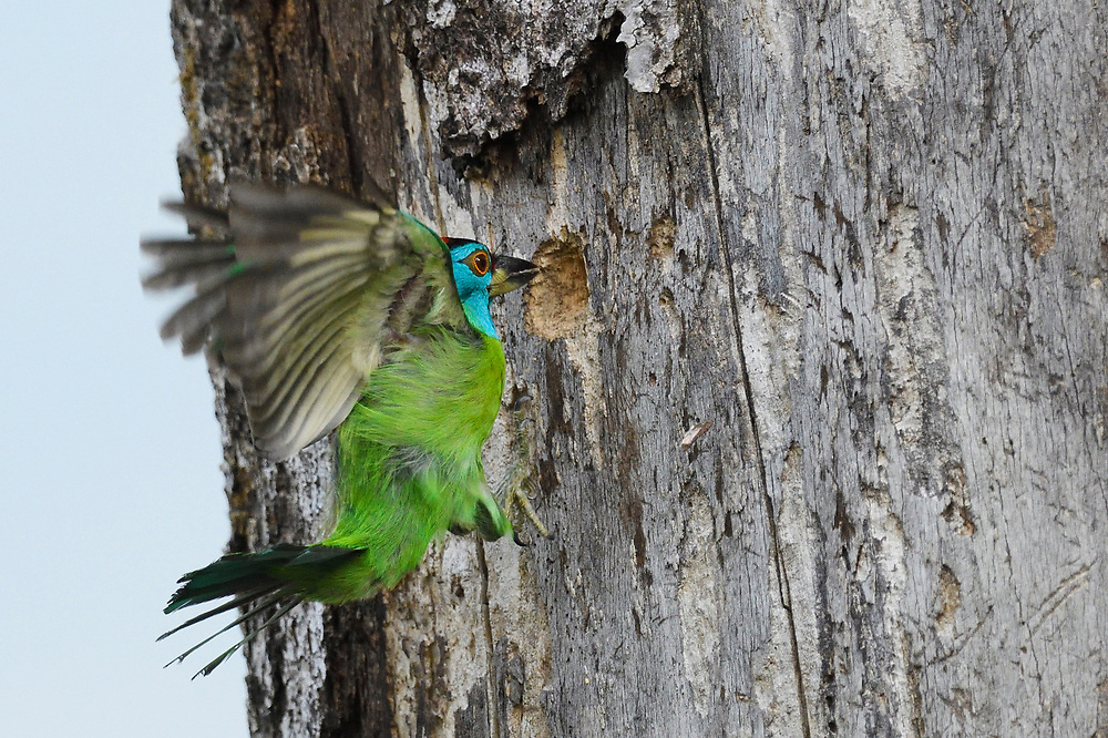 Blue-throated barbet, Megalaima asiatica, bird caught in flight, flying over Tongbiguan nature reserve, Dehong Prefecture, Yunnan Province, China