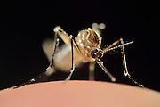 Female Yellow fever mosquito (Aedes aegypti) is the vector for transmitting Zika virus, yellow fever virus and dengue fever.   Bernhard Nocht Institute for Tropical Medicine; (BNI). Hamburg, Germany | Die Gelbfiebermücke (Aedes aegypti) kann unterschiedliche Viruserkrankungen übertragen, darunter Gelbfieber, Dengue-Fieber und Zika-Fieber. Sie wird auch Denguemücke oder Ägyptische Tigermücke genannt. Die Stechmücke kommt nur in den Tropen und Subtropen vor. Bernhard-Nocht-Institut für Tropenmedizin, Hamburg, Deutschland