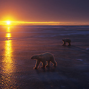 Polar Bear walking on frozen Churchill, Manitoba, Canada during sunset.
