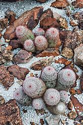 Rainbow Cactus (Echinocereus pectinatus) Big Bend National Park, Texas, USA.