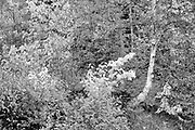 Forest by Indian Brook