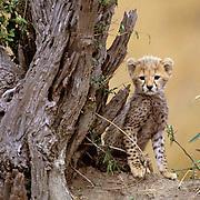 Cheetah, (Acinonyx jubatus) Portrait of cub on termite mound. Masai Mara Game Reserve. Kenya. Africa.