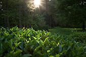 Camellia Forest Nursery