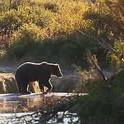 Alaskan brown bear (Ursus middendorffi) near a river. Katmai National Park, Alaska