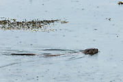 Sea Otter, Lutra lutra, carnivorous semi-aquatic mammal, swimming and hunting for food in loch on Isle of Mull in the Inner Hebrides and Western Isles, West Coast of Scotland