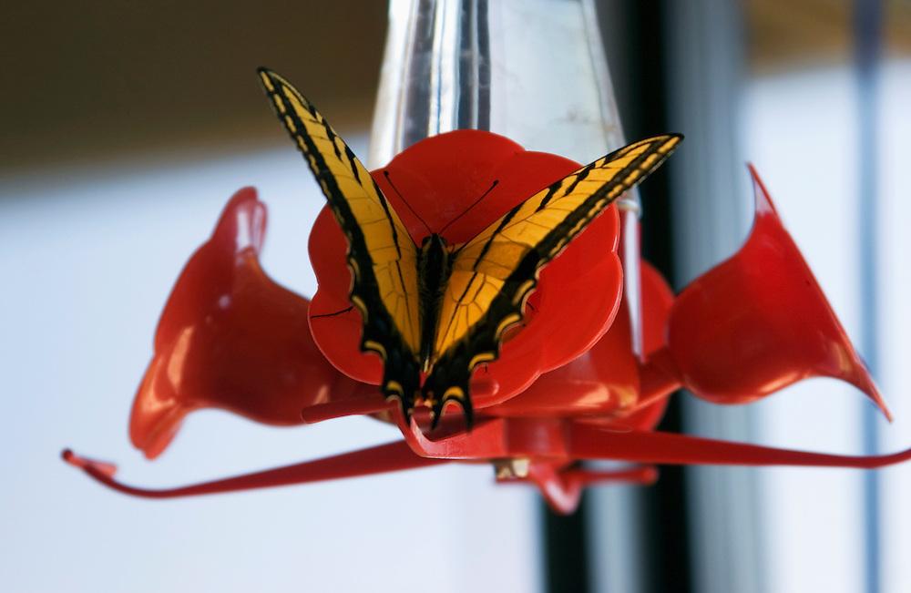 Closeup of Monarch butterfly at hummingbird feeder