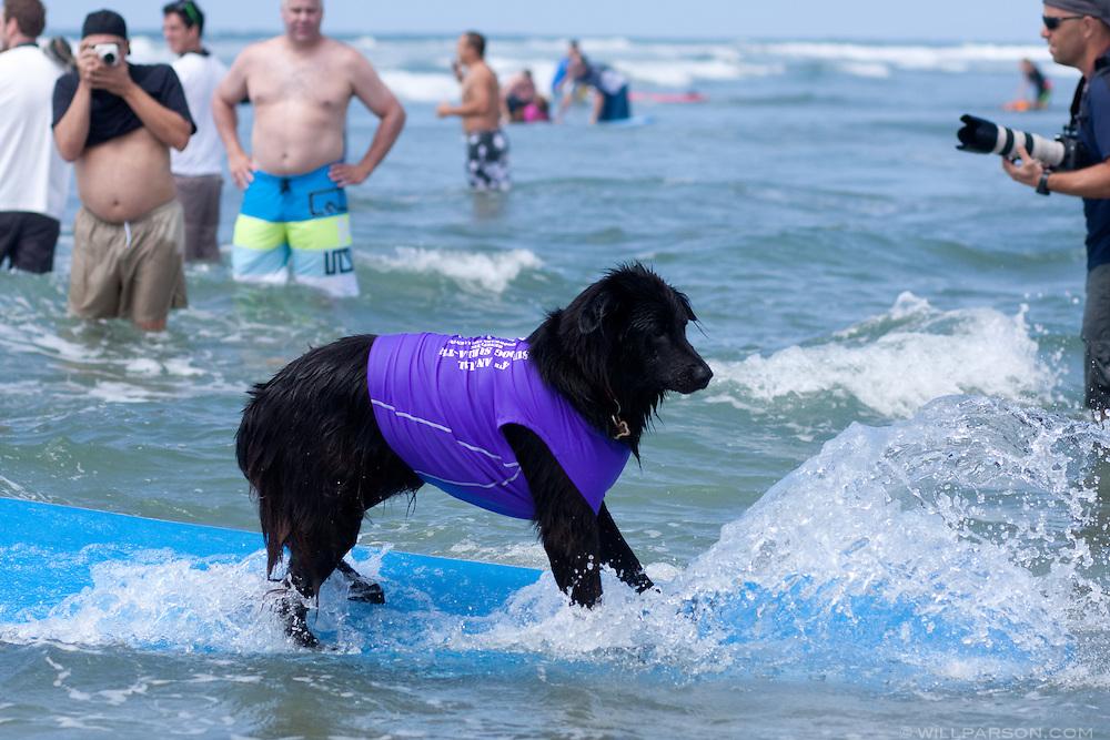 Coal rides the waves at the Surf Dog Surf-a-thon at Del Mar's Dog Beach.