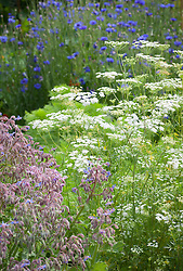Ammi majus, Borago officinalis (borage) and Centaurea cyanus (cornflowers)