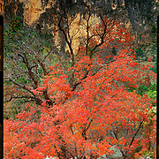 Fall foliage, Devils Hall, Guadalupe Mountains National Park. 4x5 Kodak Ektar 100. photo by Nathan Lambrecht