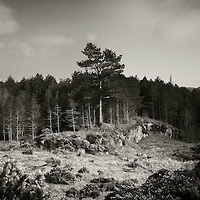 Scots pines, Silver sands, Morar, Highlands