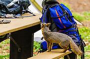 Island Fox and camping gear at Scorpion Campground, Santa Cruz Island, Channel Islands National Park, California USA