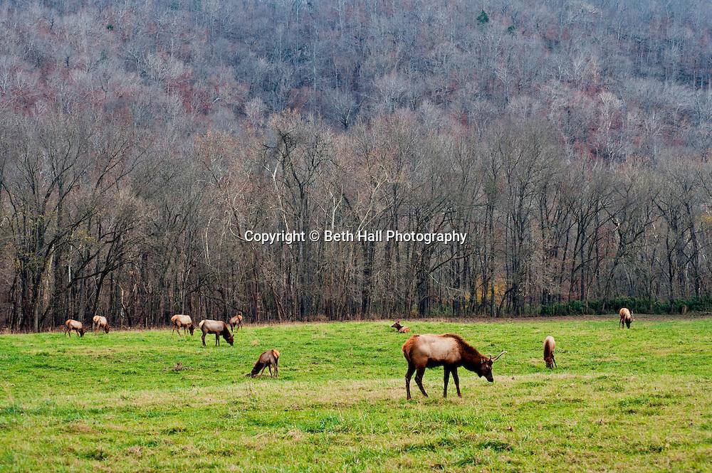 Elk graze in a field in Boxley valley Arkansas. Elk Fest in Jasper, Arkansas