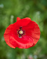 Red/Oriental Poppy. Image taken with a Leica CL camera and 60 mm f/2.8 lens