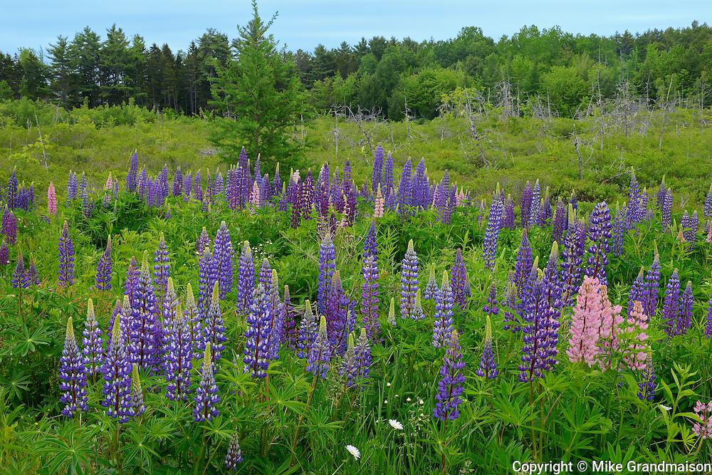 Lupines (Lupinus sp.) in roadside meadow<br /> Lunenberg<br /> Nova Scotia<br /> Canada