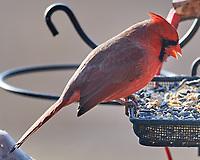 Northern Cardinal (Cardinalis cardinalis).Image taken with a Nikon D5 camera and 600 mm f/4 VR lens.