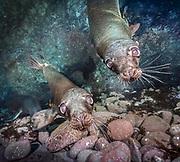 Sea lions on the reef in Coronado Island, Mexico.