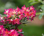 An azalea blooming. (Mike Siegel / The Seattle Times)