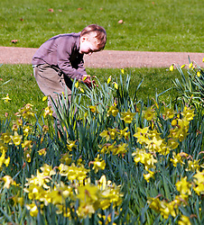 © under license to London News Pictures. 19/03/2011.  A child examines the daffodils in Green Park, London, on a bright sunny spring Saturday following days of persistent rain. Photo credit should read Cliff Hide/LNP..