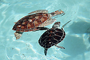 """juvenile green sea turtles, Chelonia mydas, with """"living tag"""" - white spot transplanted from under-shell ( plastron ) to upper-shell ( carapace ) grows with turtle, Xcaret, Mexico"""