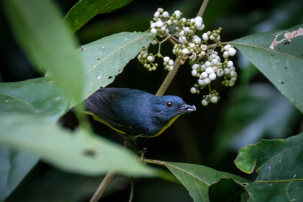 Another cute Bornean endemic, this is the diminutive Yellow-rumped Flowerpecker. It's found in a variety of forest types in the north and west of the island, where it forages actively for small fruits and invertebrates.