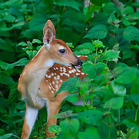 Deer, Moose, & Hooved Mammals